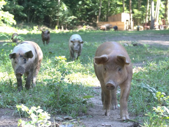 Pigs roam the pasture at Reed of Grace Farm owned by Ray and Danielle Priess. Their pigs have 20 acres to roam and their pork products are certified pasture-raised.