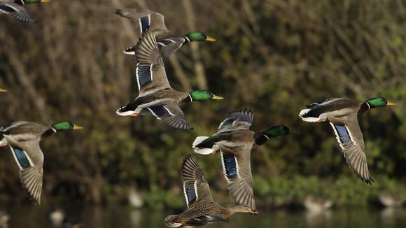 The cost of a federal duck  stamp is about to go up.