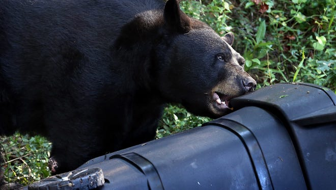 A black bear attempt to open a bear-resistant trash can at the Tallahassee Museum