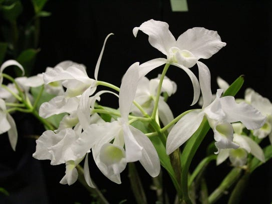 A variety of orchids will be for show and sale at this