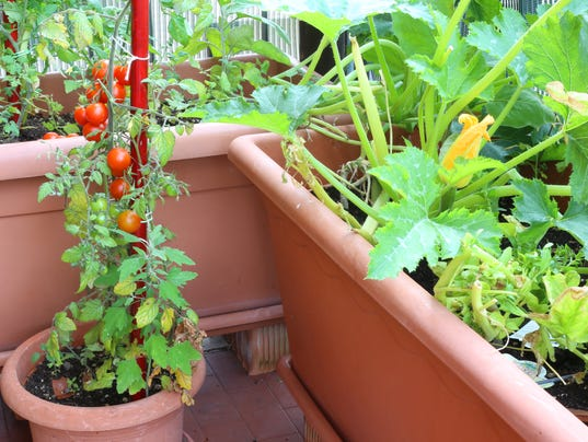plants of tomatoes and zucchini