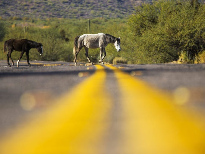 Wild horses cross Coon Bluff Rd. in the Tonto National