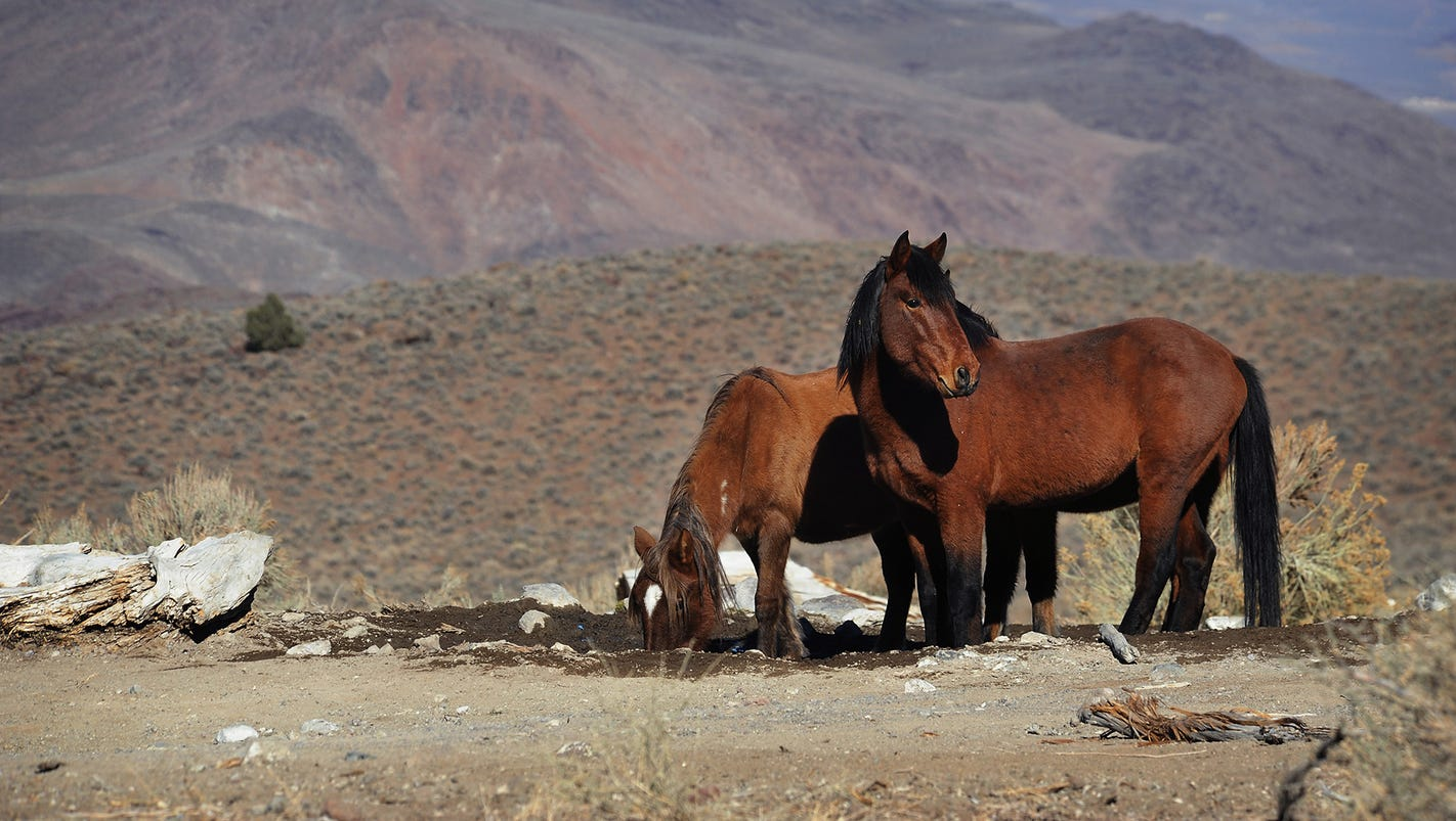the roundups of the wild mustangs Wild horses are a native species and must be saved legal loopholes allow the blm to sell thousands of wild horses to slaughter middlemen known as kill buyers to dispose of alleged excess and unadoptable american wild horses and this must stop now.