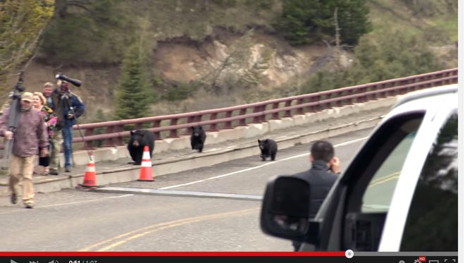 Visitors in Yellowstone National Park got a little too close to a mama bear's cubs last Wednesday.