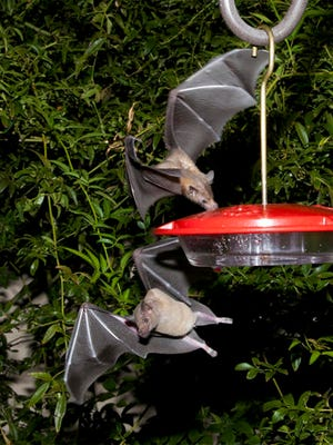 This 2013 photo provided by the U.S. Fish and Wildlife shows nectar-feeding lesser long-nosed bats attracted to a hummingbird feeder during a citizen science bat migration monitoring project in southern Arizona. U.S. wildlife officials say it might be time for a toast now that the once-rare bat important to the pollination of agave plants used to produce tequila is making a comeback.