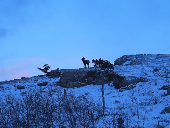 Big Horn sheep are among the few neighbors Dave and