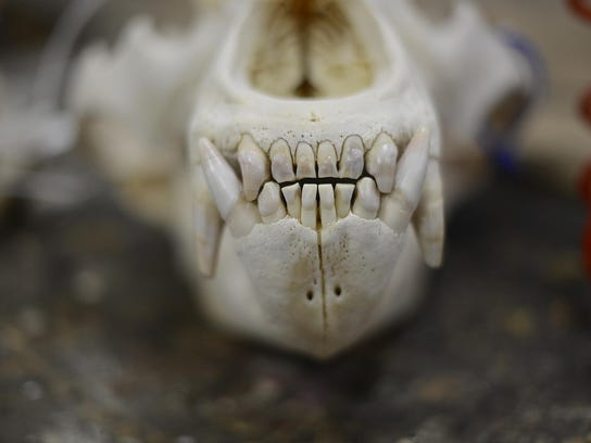 The skull of a grizzly bear at High Wet & Wild Taxidermy