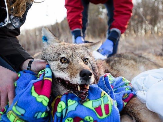 636159254549862340-wolf.jpg