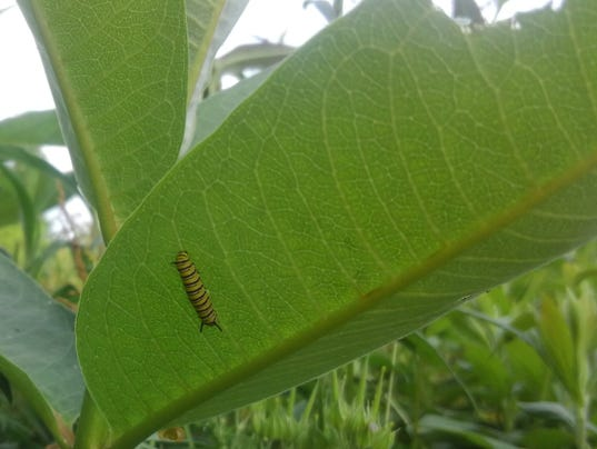 BMN 060718 Monarchs