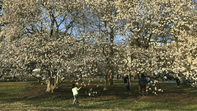 A girl looks at the flowers of a tree in bloom in Washington, D.C., March 9, 2017, as spring rolls around.
