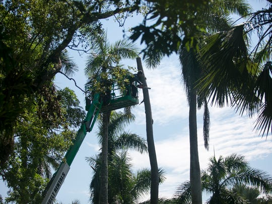 A palm tree is cut down at the Edison & Ford Winter Estates on Wednesday.