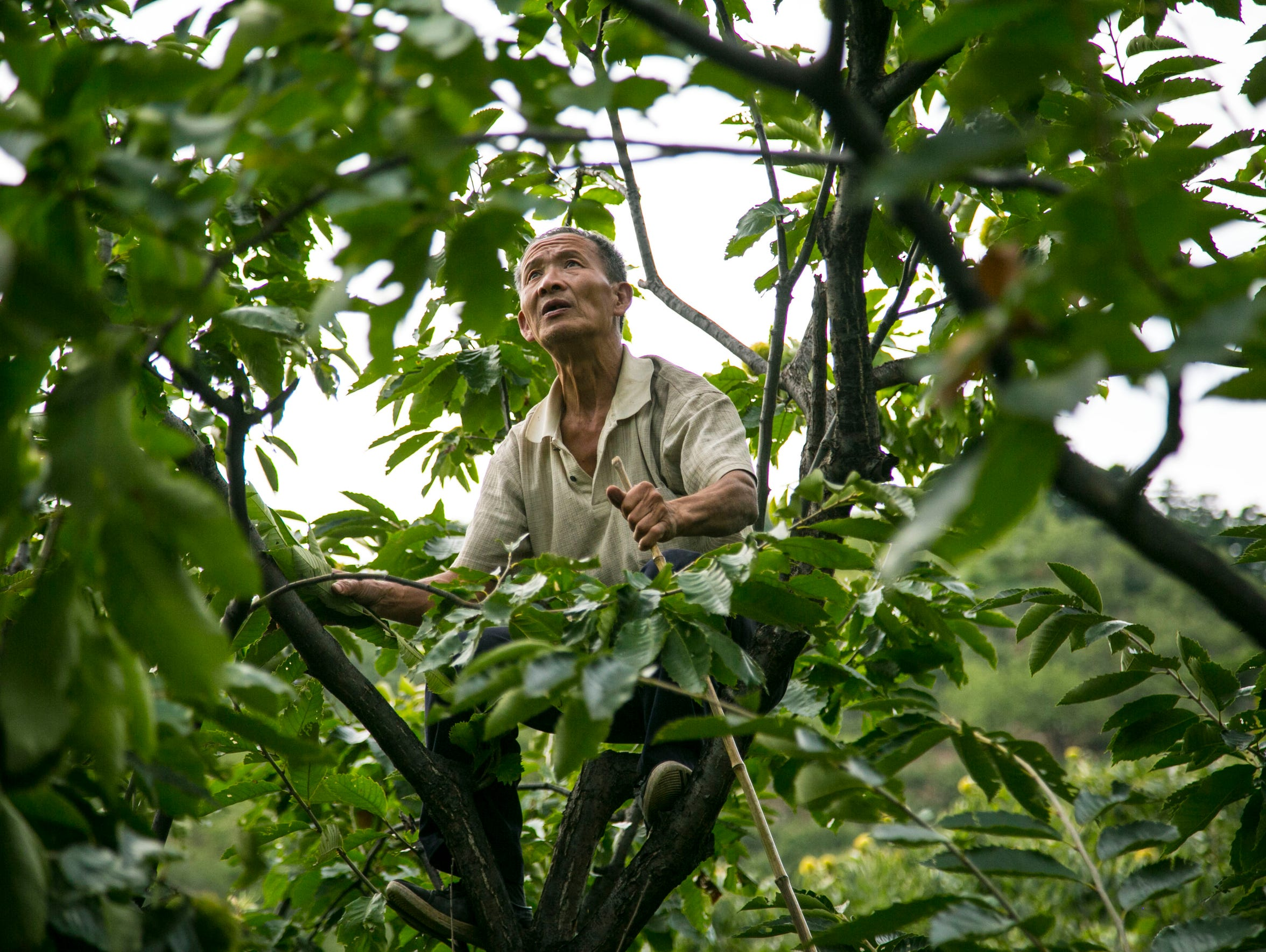 A farmer in the Mutianyu Village looks for chestnuts