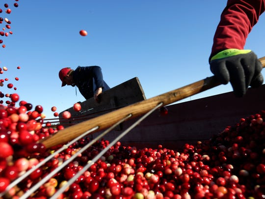 Quickly, workers at Whittlesey Cranberry Co. push cranberries around the inside of a truck to even them out and attempt to fit as many as possible on the last formal day of harvest, October 21, 2016.
