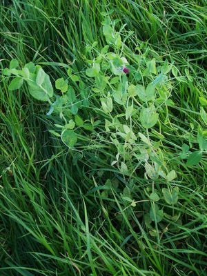 A pea plant stood out amid a grass species in a cover crop plot at Van Wychen Farms that is designed to compare how various species cope with a competing growth of volunteer winter wheat. The plot is being overseen by Aaron Barclay of Forage Innovations.