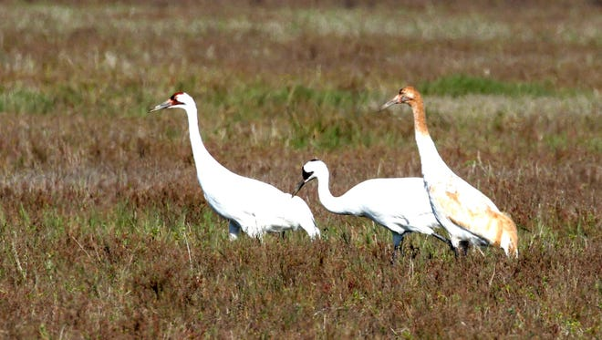 The Aransas Project and the Guadalupe-Blanco River Authority are seeking a solution that could include environmental flows for the estuary that supports wild whooping cranes north of Rockport.