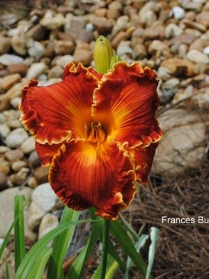 This beautiful daylily, Frances Busby, grows in one of the TDS member's gardens in Killearn.