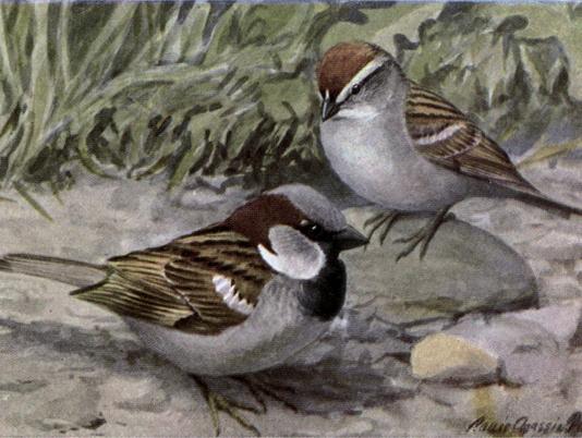 636615504730177558-Bully-the-English-Sparrow.jpg
