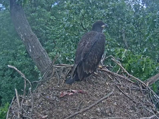 One eaglet remains at the nest near Codorus State Park after the first of the pair that hatched this year fledged from the nest on the morning of June 7, 2017.