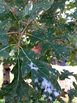 The leaves of this Shumard red oak have problems that cannot be diagnosed from a picture. The Texas Plant Clinic at Texas A&M may be able to help.