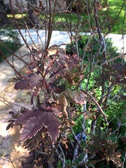 A struggling Japanese maple could have suffered root