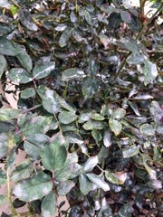 These Knockout roses are loaded with powdery mildew.