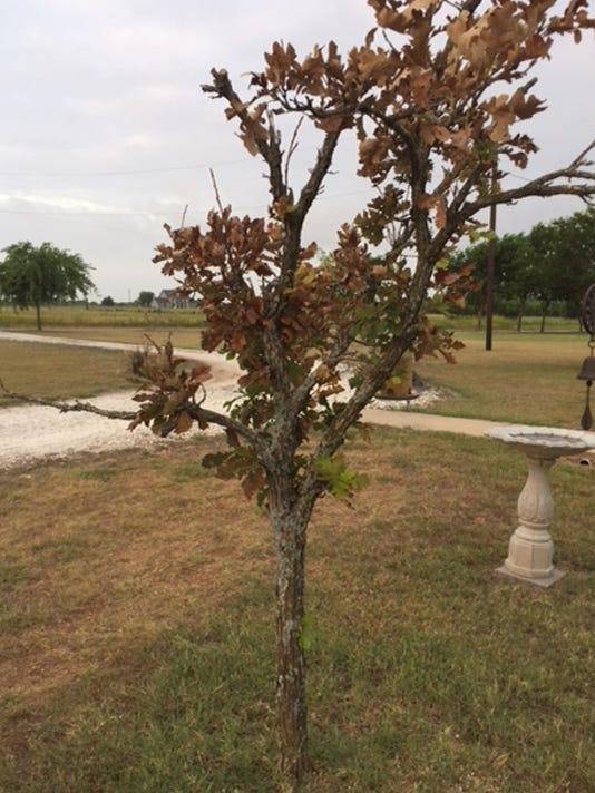 636670083105184595-7-09-18-Dying-oak-tree.jpg