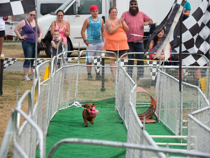 There were 100 wiener dog races at the York Fair in