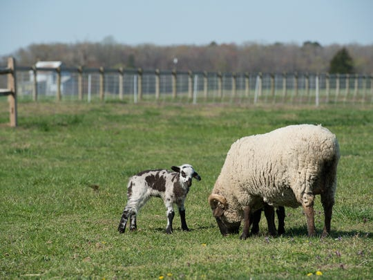 Leslie Lee with her mom Sedona grazing in the pasture at La Belle Farm in Georgetown.