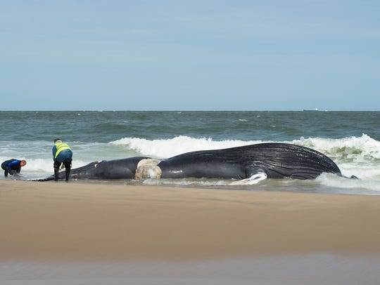 View of a deceased whale that washed up at Deauville