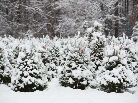 Christmas trees covered in snow at Pine Hollow Christmas Tree Farm in Milton.
