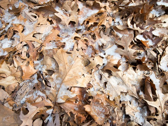 Oak leaves among the frosty leaf litter along a trail at Rocky Ridge County Park in Pennsylvania.