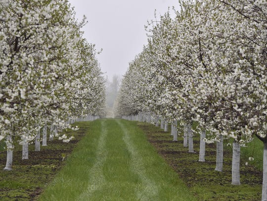 A light fog hovers over cherry orchards along County