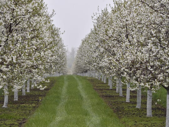 A light fog hovers over cherry orchards along County HH in Sturgeon Bay on Saturday, May 19, 2018. The blossoms are at peak in Sturgeon bay and are expected to be near or at peak this Memorial Da weekend farther north from Egg Harbor to Ellison Bay. Tina M. Gohr/USA TODAY NETWORK-Wisconsin
