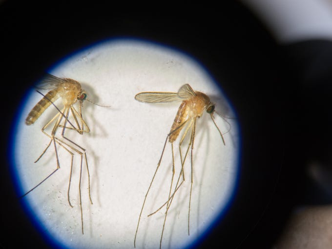 View of a common house mosquito.