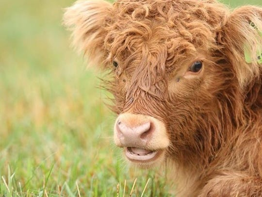 Ezra, one of the Scottish Highland cows living on the