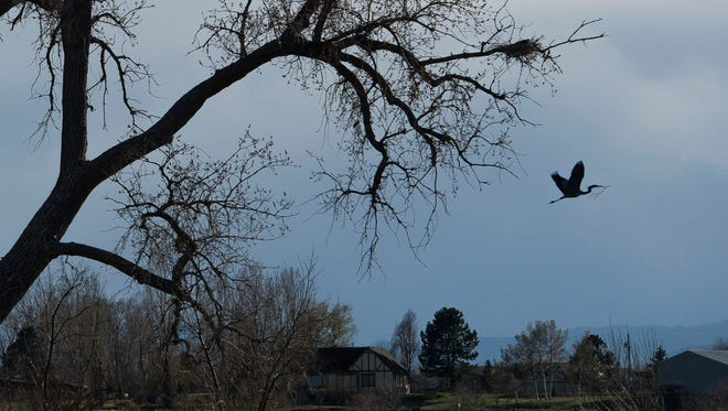 A heronry of great blue herons can be seen on the west side of I-25, just south of the East Harmony Road exit, as seen on Tuesday, April 17, 2017, in Fort Collins, Colo. Developers say they will protect the herons and the tree when they build a new project at the city's gateway.