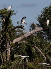 A wood stork  balances on tree at Cypress Creek Grove