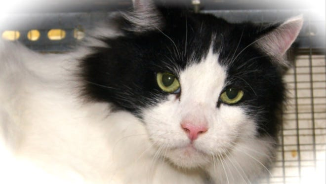 Rein is a gorgeous 6 year old male that's looking for a new lap to lay in. Let's face it, with a name like Rein, he's looking for a new human to control. Come on cat people. Give this boy a chance out of the shelter. He's waiting at Crittenden Co Animal Shelter.