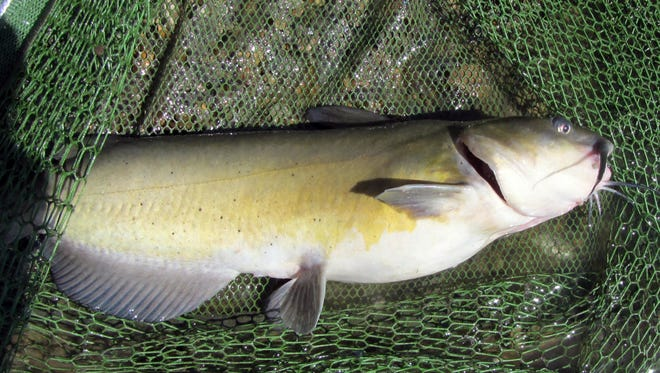 Channel catfish in Michigan are abundant, grow to large sizes and are powerful fighters.