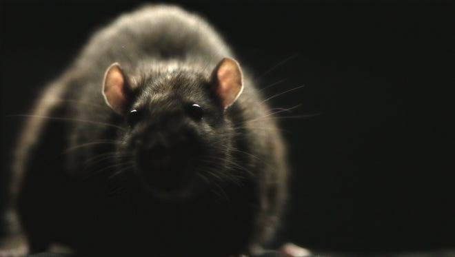 Morgan Spurlock's 'Rats' explores infestation on a global scale.