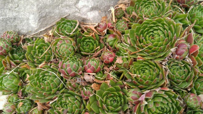 Hen and chicks fill in a sunny nook.