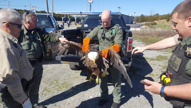 A bald eagle had to be euthanized Tuesday after it was hit by a car in Greene County on Sunday, according to the Tennessee Wildlife Resources Agency.