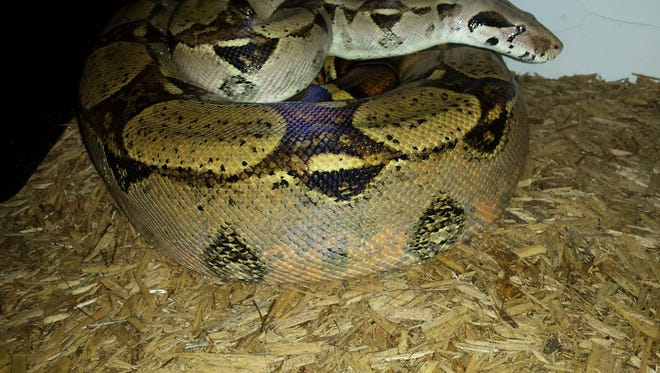 A red-tailed boa constrictor was reported loose Tuesday on the West Side of Binghamton.