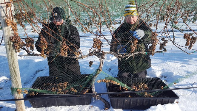 Danny Wentland (left) and Steve Johnson harvest icy grapes from the vines in January 2017 for Parallel 44's ice wine.