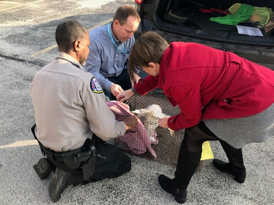 A Department of Natural Resources warden and We Energies employees Cathy Schulze and Mike Grisar work to place a cover over an injured snowy owl that has been placed in a cage. The owl was spotted resting in a parking lot at We Energies' headquarters near W. Clybourn and N. 2nd streets.