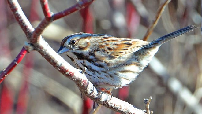 This early migrant, a song sparrow, was photographed in Waushara County this week.
