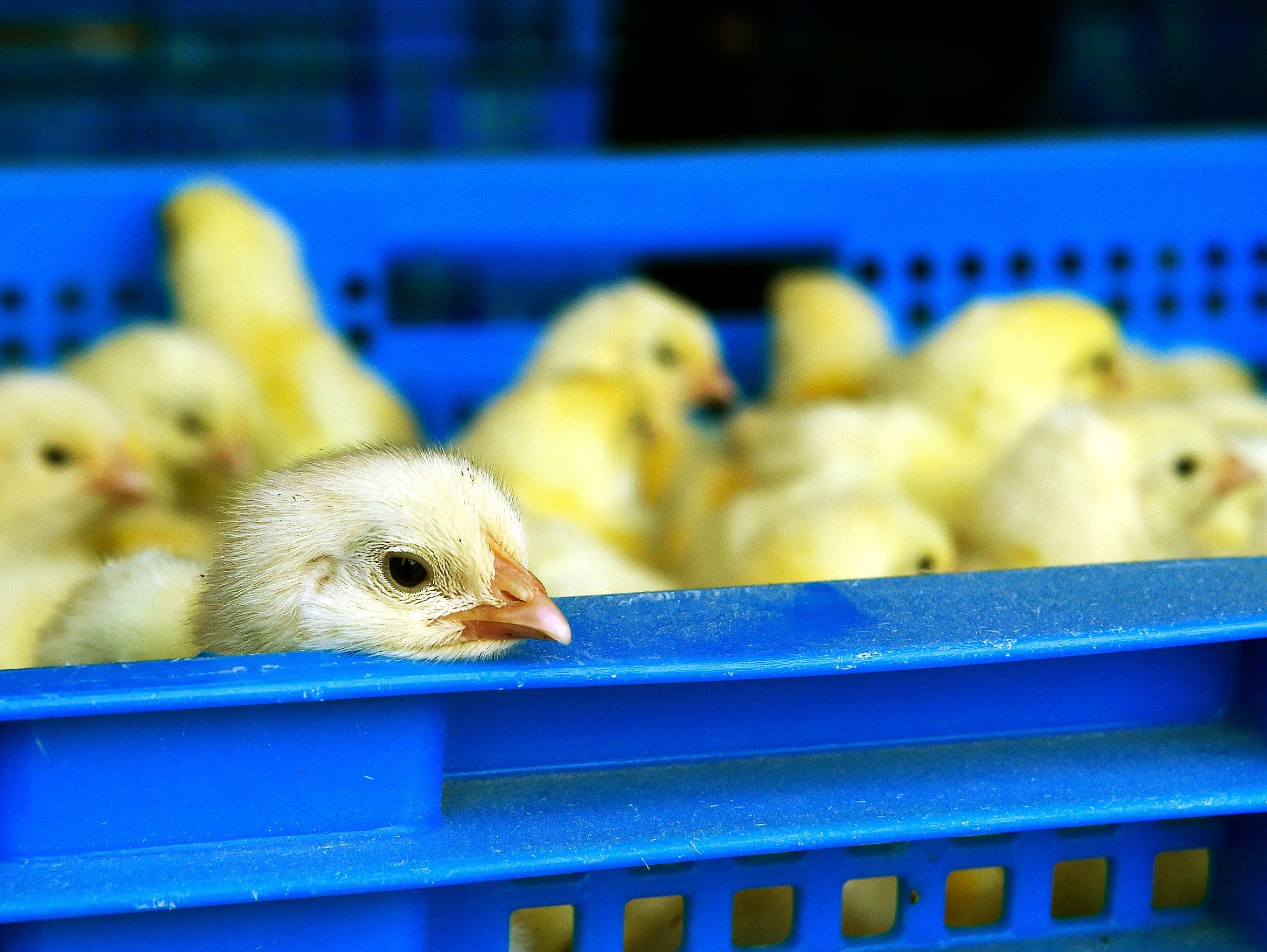 Chicks peak out of crates at Haiti Broilers in Lafiteau,