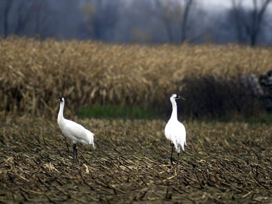 1119_WHOOPING CRANES