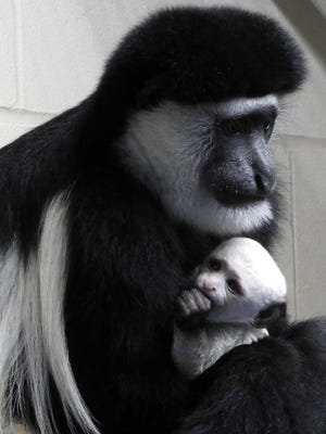 Cincinnati Zoo guereza colobus Adanna holds her new baby, the first Zoo Baby of 2017.