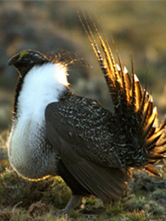 Sage Grouse Male 2.jpg